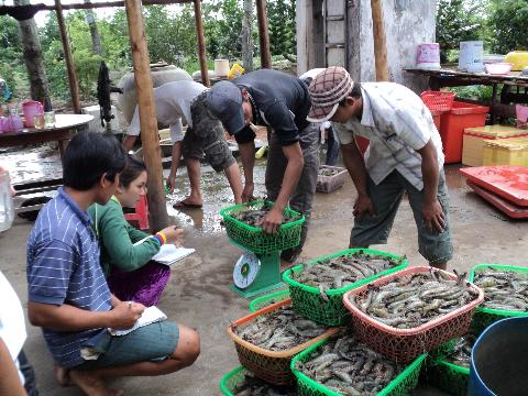 Brackish water shrimp VietGAP how to sustainably